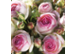 Rosenzeit bei Gärtnerei Stolzlederer