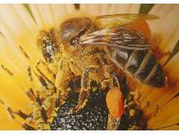 Hochreine Bienenprodukte