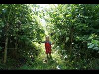 Energiewald aus Pappeln im Kurzumtrieb