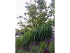 Thumbnail - Gräser eine wichtige Pflanze fürdie Gartengestaltung