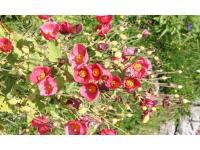 Alpenblume