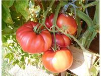 Tomate RIESIG