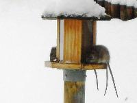 Ratten Bekämpfung