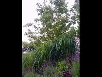 Gräser eine wichtige Pflanze fürdie Gartengestaltung