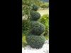 Thumbnail - Formschnitt Zypresse