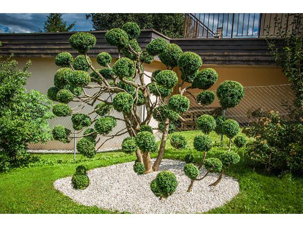 Vorschau - Buchsbaum-Formschnitt - Foto von GARTENGALERIE