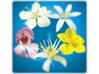 Bachblüten-Mischungen