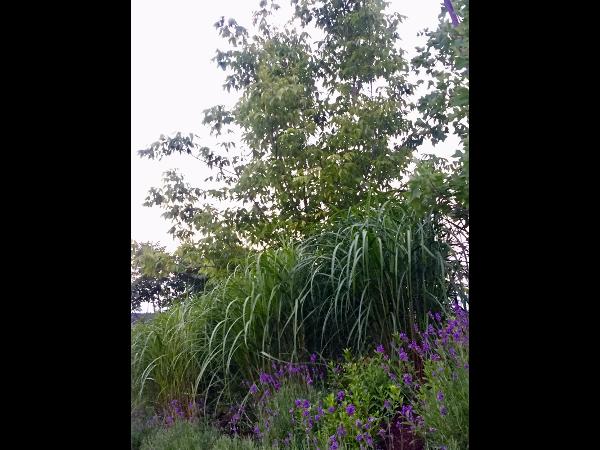 Vorschau - Gräser eine wichtige Pflanze fürdie Gartengestaltung