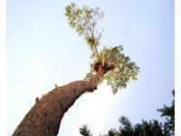 Baumabtragung, Baumpflege und Kronensicherung
