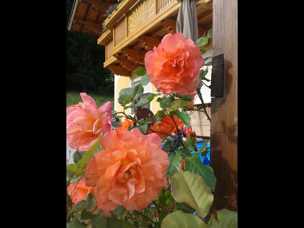 Vorschau - Rosen Orange