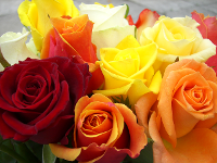 Rosen aus der familieneigenen Gärtnerei