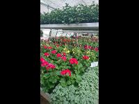 Topf-, Schnitt- und Balkonblumen