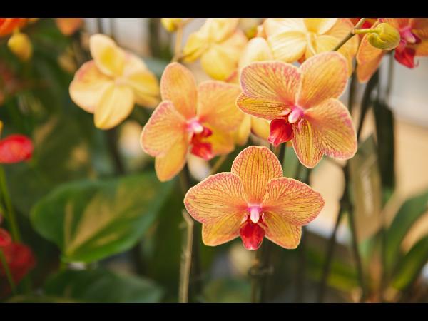 Vorschau - Orchideen