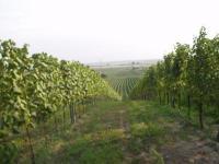 Blick über die Weingärten von Gols