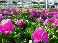 Balkonpflanzen Eigenproduktion im Gartenzentrum in Stumm