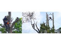 Baumabtragung, Baumfällung