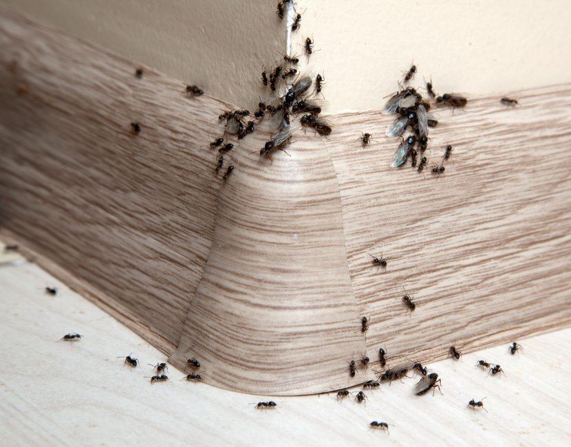 was hilft gegen ameisen im haus und in der wohnung?- herold.at - Was Tun Gegen Ameisen In Der Küche