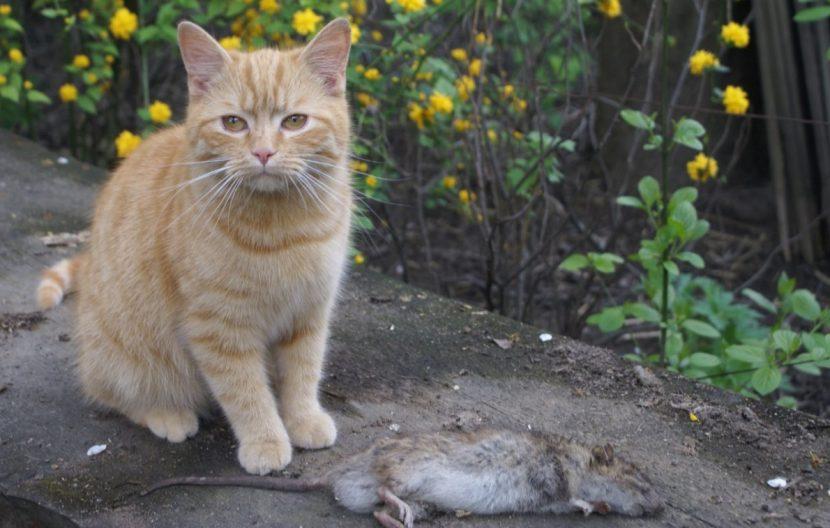 Rattenbekampfung So Wirst Du Die Schadlinge Los Herold At