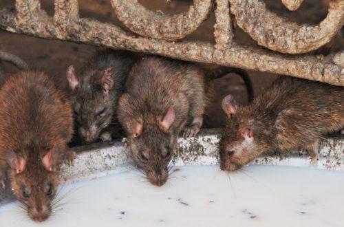 Rattenbekämpfung, Schädlingsbekämpfung