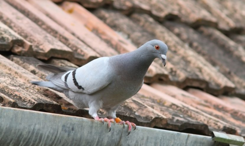 Tauben vertreiben, Taubenabwehr, Tauben töten, Tauben am Balkon