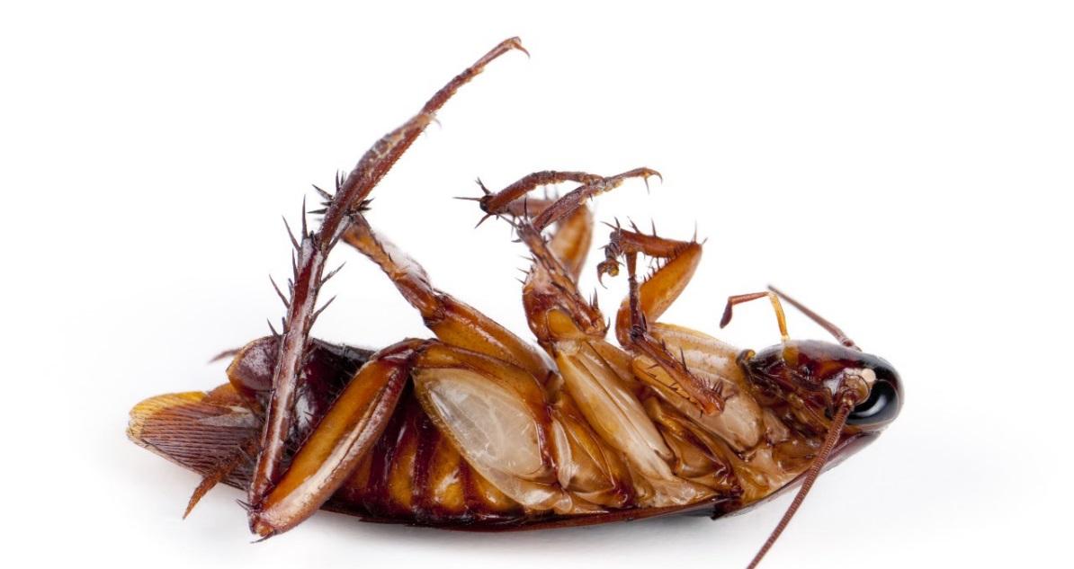 Kakerlake Gefunden So Wirst Du Kuchenschaben Los