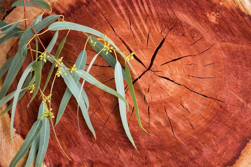 Eukalyptusholz