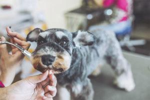 Kleiner Schnauzer, dessen Fell im Hundesalon geschnitten wird. Hundefriseur Wien.