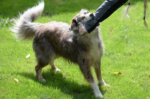 Mittelgroßer Hund, der in den Arm einer jungen Frau beißt. Hundebiss, was tun?