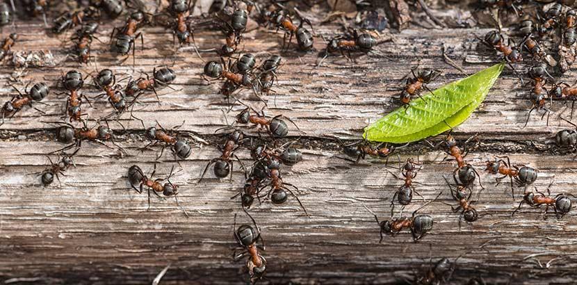 Was hilft gegen Ameisen im Haus? Tipps & Hausmittel - HEROLD.at