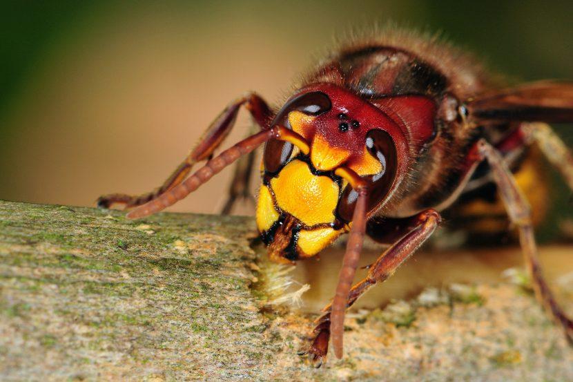 hornissennest entdeckt hornissen sicher vertreiben. Black Bedroom Furniture Sets. Home Design Ideas