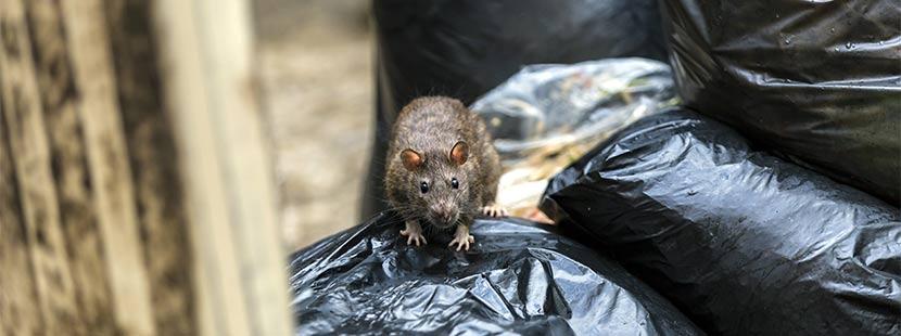 Ratte auf einem schwarzen Müllsack. Rattenbekämpfung Wien.