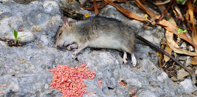 Tote Ratte nach Rattenbekämpfung mit Gift.