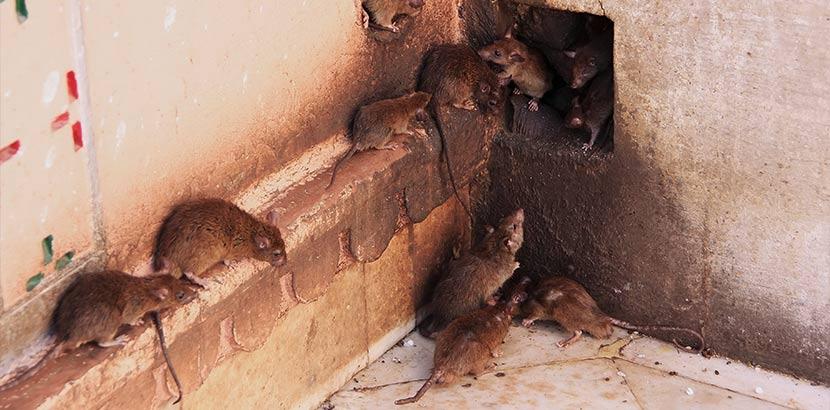 Ratten, die sich an einem Ausgang der Kanalisation tummeln. Deshalb ist die Rattenbekämpfung so wichtig.
