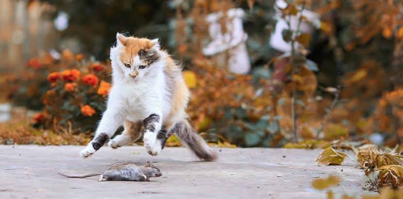 Katze, die eine Ratte fängt. So funktioniert Rattenbekämpfung auch.