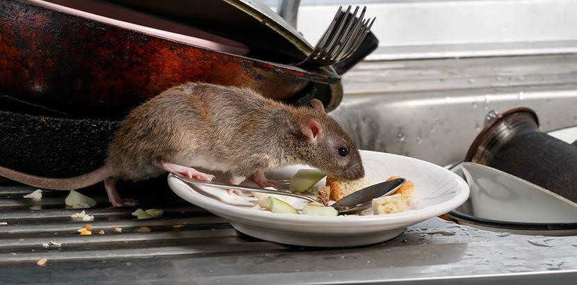 Ratte, die sich auf einer Spüle über Speisereste hermacht. Rattenbekämpfung Wien.