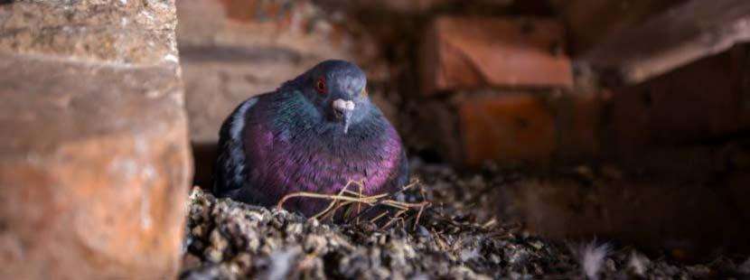 Taube in ihrem Nest im Dachstuhl.