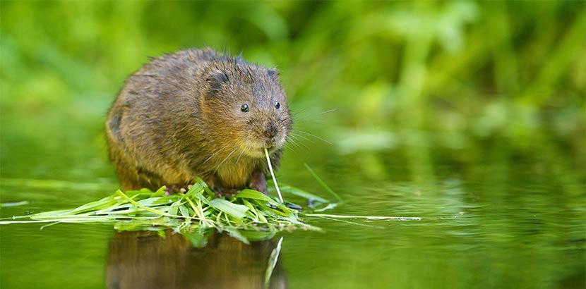 Wühlmaus pder Wasserratte, die auf einem Stein in einem Bach sitzt und Gras frisst. Wühlmäuse bekämpfen.