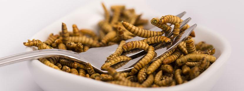 Gabel mit Mehlwürmern. Insekten essen Wien.
