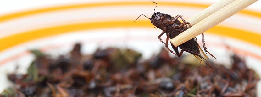 Stäbchen, die eine gegrillte Heuschrecke halten. Insekten essen Wien.