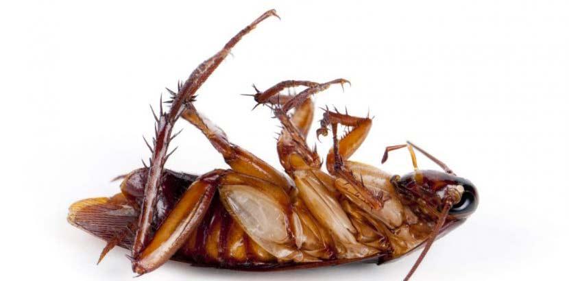 Tote Kakerlake nach Kakerlaken Bekämpfung. Liegt am Rücken mit den Beinen in der Luft.