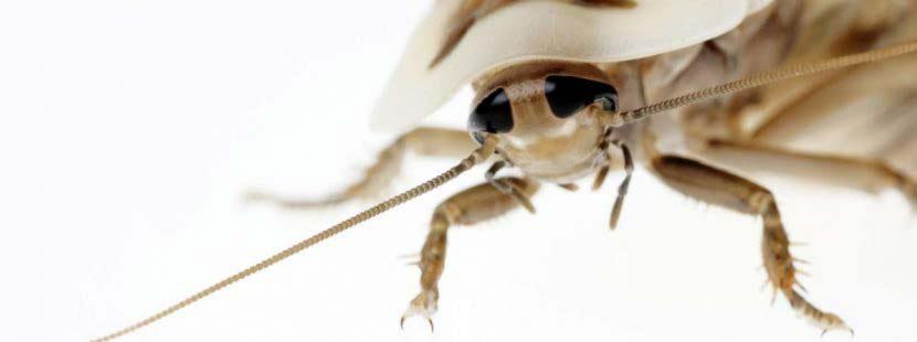 Kakerlaken bekämpfen