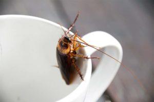 Kakerlake, die in einer Kaffeetasse sitzt. Kakerlaken Bekämpfung Wien.
