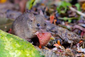 Maus, die an einem Stück Melone knabbert. Mäuseabwehr Wien