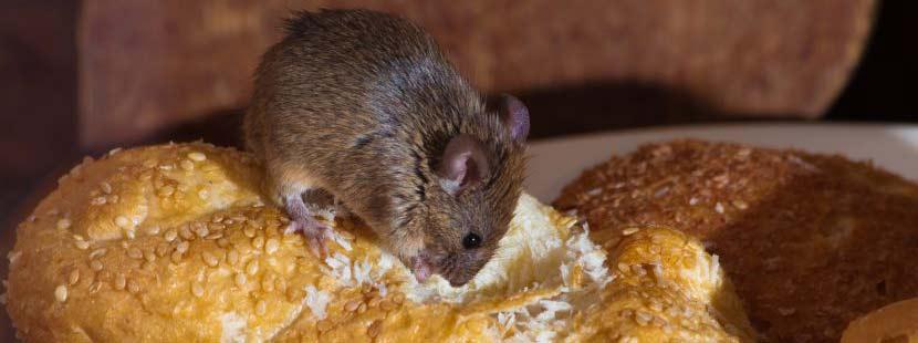 Kleine Maus, die durch eine Mauerritze ins Haus gelangt ist und sich nun durch die Vorratskammer frisst.