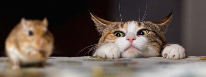 Hauskatze, die sich an eine Maus anschleicht. Beste Mäuseabwehr von allen!