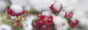 Rosen überwintern, Frostschutz
