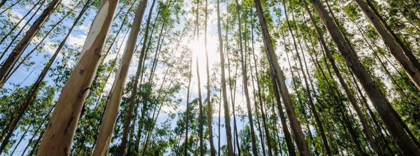 Eukalyptus Holz Eigenschaften