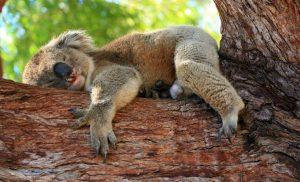 Koala auf Eukalyptusholz