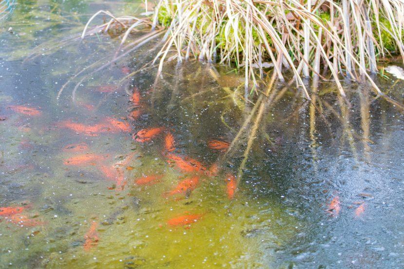 Gefrorener Gartenteich Mit Goldfischen