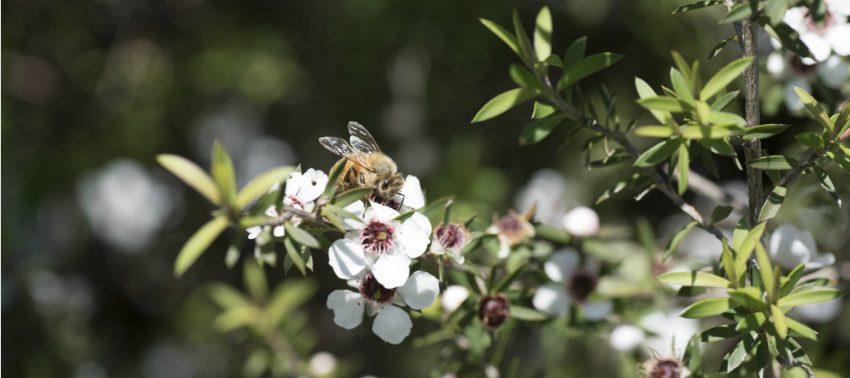 Biene sitzt auf neuseeländischer Südseemyrte (Manuka Strauch)